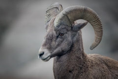 12-Big-Horn-Sheep
