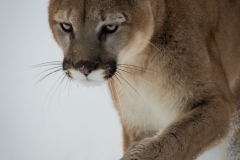 120-Mountain-Lion