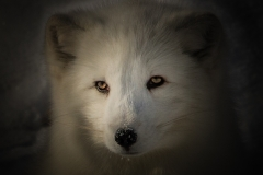 122-Artic-Fox
