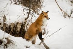 123-Fox