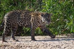 127-Jaguar