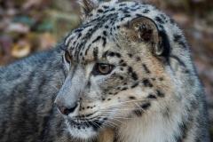129-Snow-Leopard