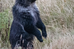 138-Grizley-Cub