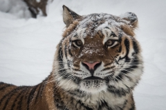 141-Amur-Tiger