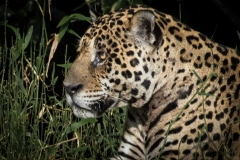 143-Jaguar