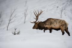 151-Elk