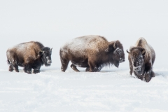 152-Bison