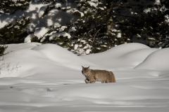 153-Bobcat