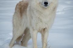 154-Wolf
