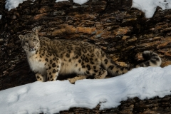 155-Snow-Leopard