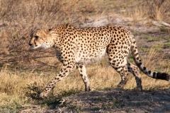158-Cheeta