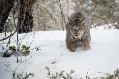 160-Lynx