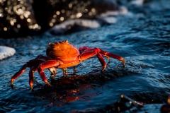 162-Crab