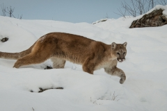 163-Mountain-Lion