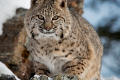 164-Bobcat