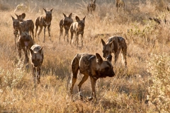 169-Wild-Dogs