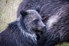 173-Grizley-Cub