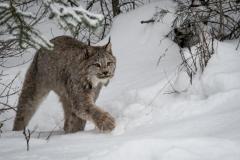 174-Lynx