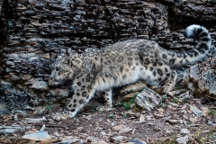 177-Snow-Leopard