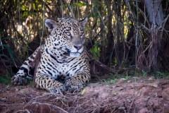 179-Jaguar