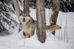 185-Wolf