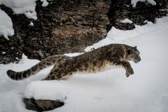 186-Snow-Leopard
