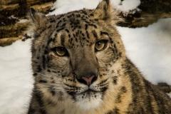 187-Snow-Leopard