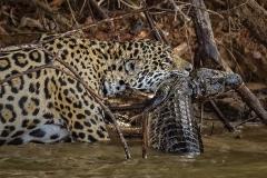 3-Jaguar-Killing-a-Cayman