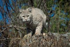 69-Bobcat