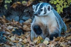 70-Badger