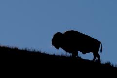 72-Bison