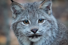 74-Lynx