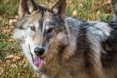 76-Wolf