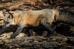 78-Fox