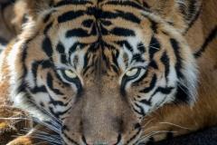 83-Tiger