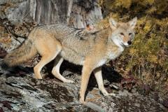 89-Coyote