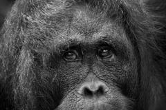 9-Orangutan