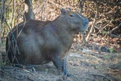 91-Capybara