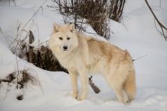 93-Wolf