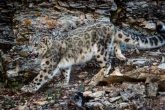 95-Snow-Leopard