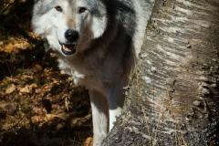 96-Wolf