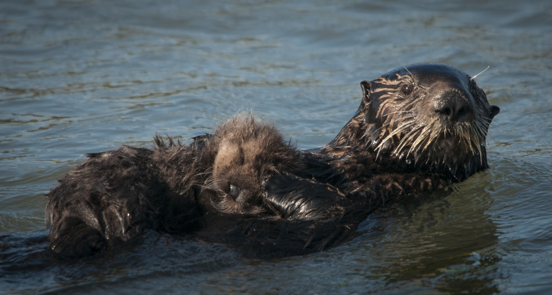 Sea Otter Baby on Mother's Tummy