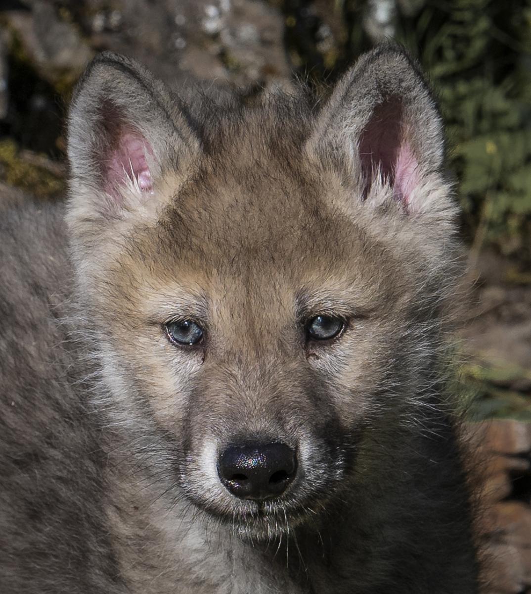 Coyote Puppy