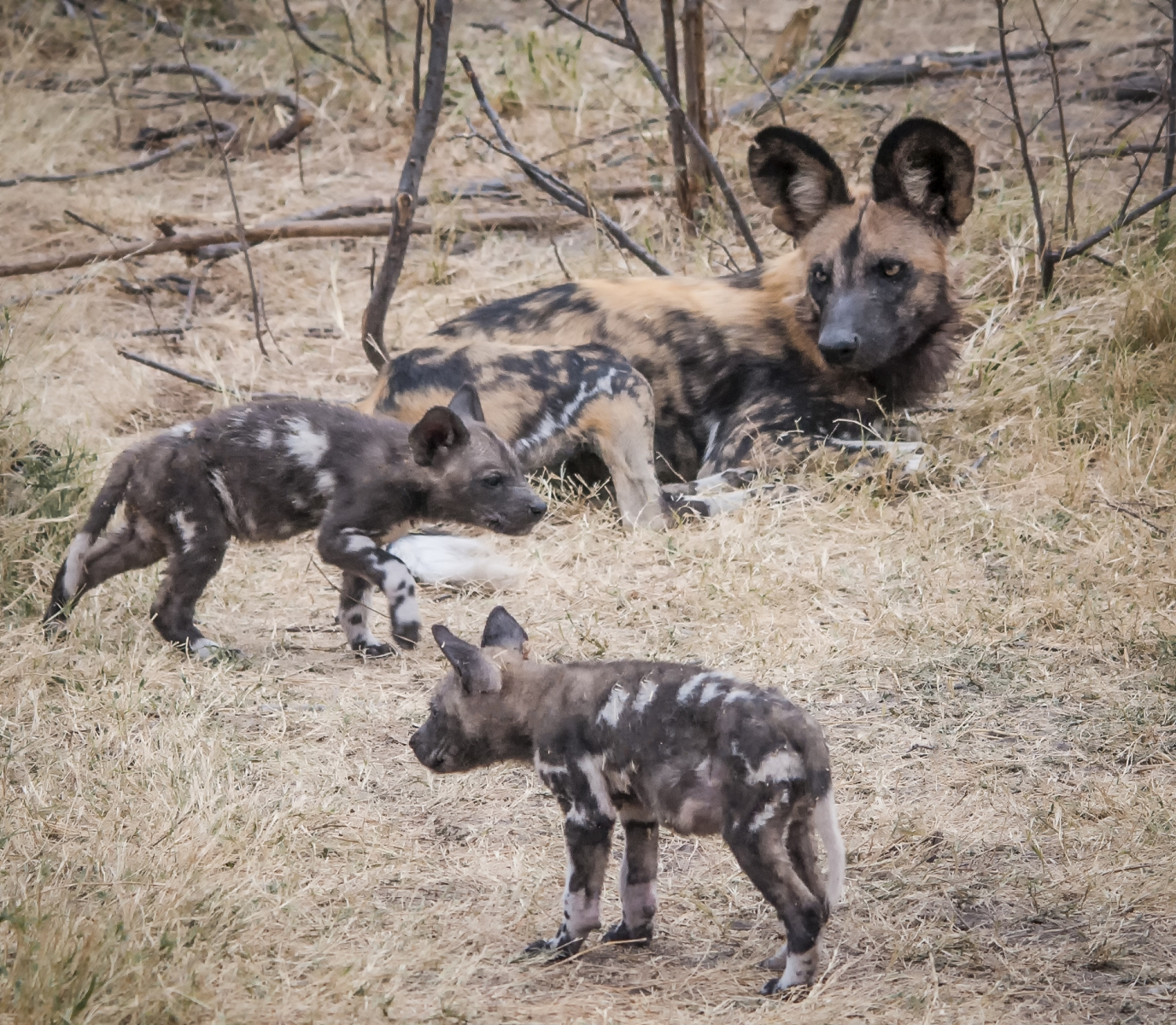 Wild Dog Puppies with Mother