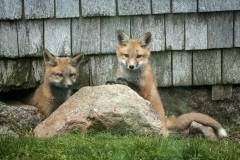 Fox Kits Under our Barn