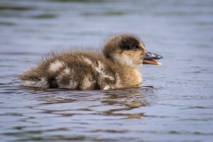 Crested Duck Chick