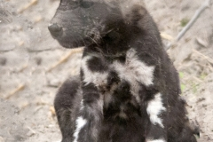 Wild Dog Puppy