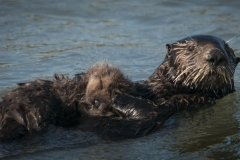 Sea Otter Baby on Mother's Tummy
