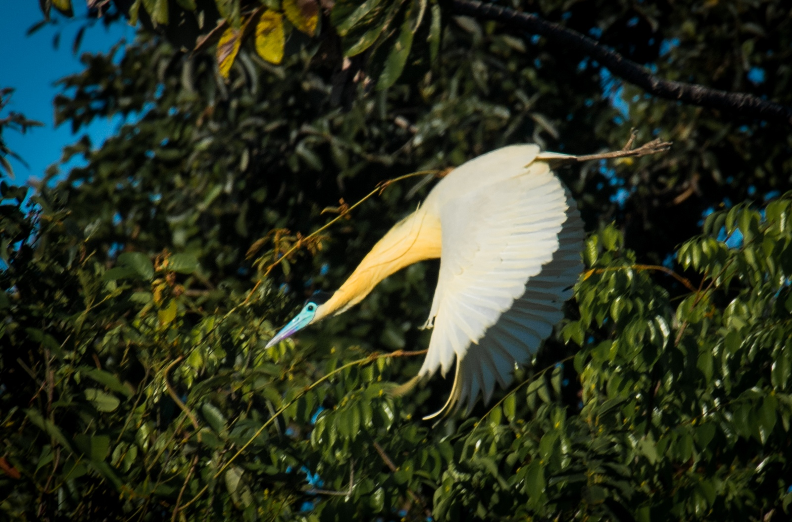 110-Capped-Heron
