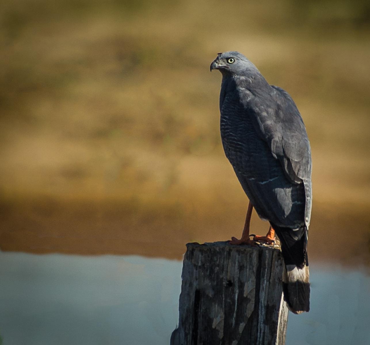 112-Crane-Hawk